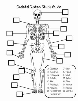 Skeletal System Worksheet Pdf Luxury Skeletal System Study Guide by Fantastic In 4th