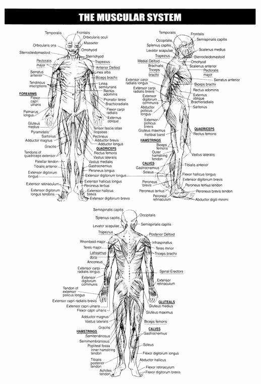 Skeletal System Worksheet Pdf New Skeletal System Worksheet