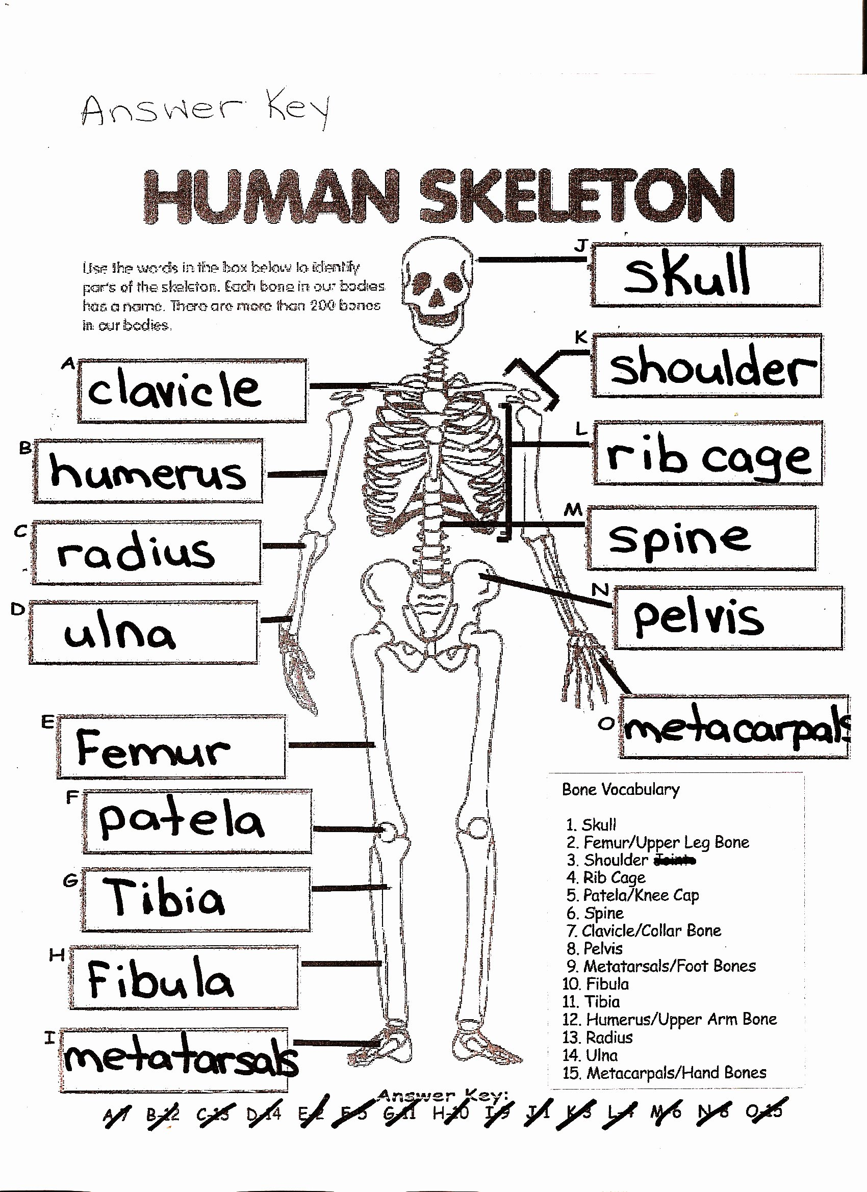 Skeletal System Worksheet Pdf Unique Mckenna Mrs Home Page
