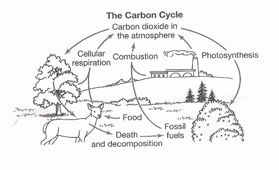 The Carbon Cycle Worksheet Answers Lovely Blank Nitrogen Cycle Diagram Water