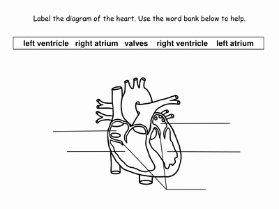 The Cardiovascular System Worksheet Inspirational the Circulatory System Powerpoint Presentation and
