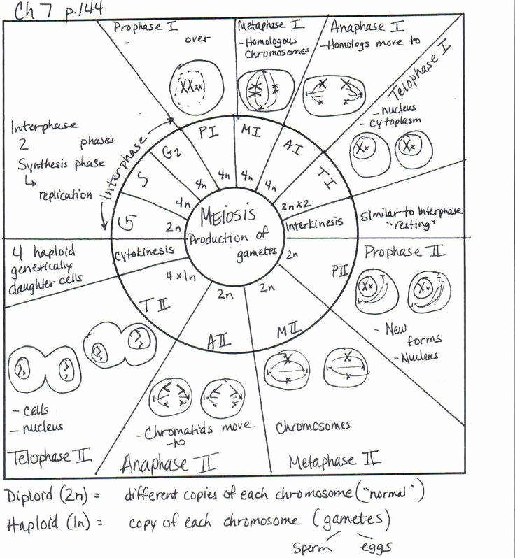 The Cell Cycle Worksheet Answers Best Of the Cell Cycle Coloring Worksheet