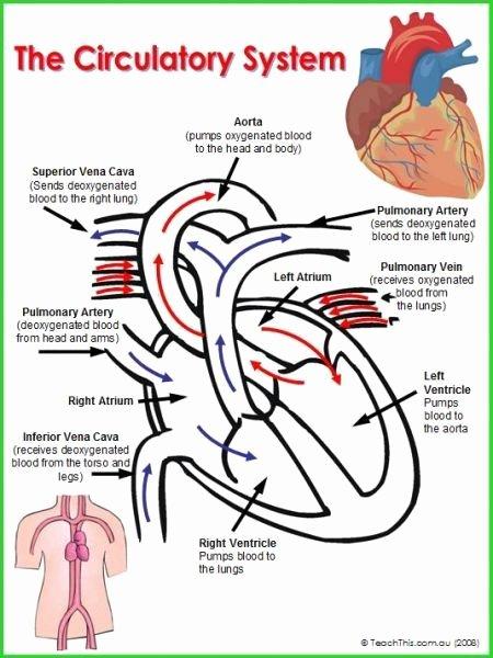 The Circulatory System Worksheet Beautiful Circulatory System College Stuff & Tips