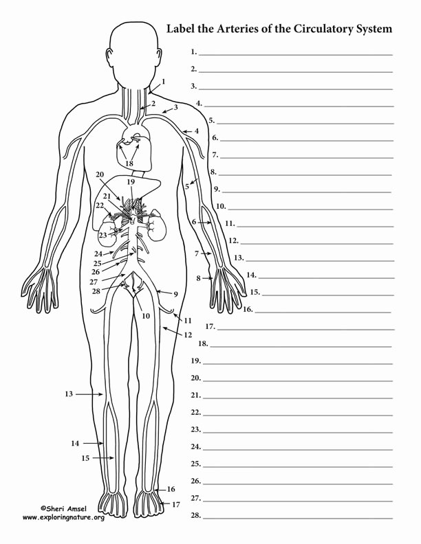 The Circulatory System Worksheet Inspirational Blood Vessels Labeling Circulatory System Advanced