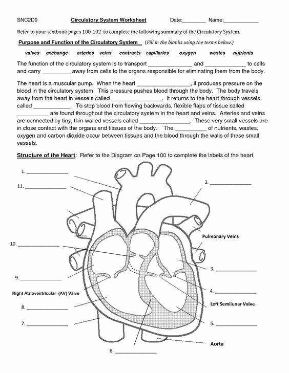 The Circulatory System Worksheet Lovely the Circulatory System Worksheet
