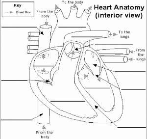 The Circulatory System Worksheet New Heart Circulatory System Worksheets Ks2 Anatomy