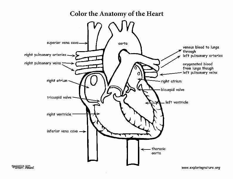 The Circulatory System Worksheet Unique Cardiovascular System Worksheet