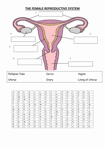 The Female Reproductive System Worksheet Best Of Reproductive System Worksheet
