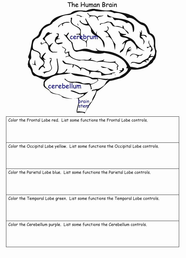 The Nature Of Science Worksheet Unique the Human Brain Worksheets