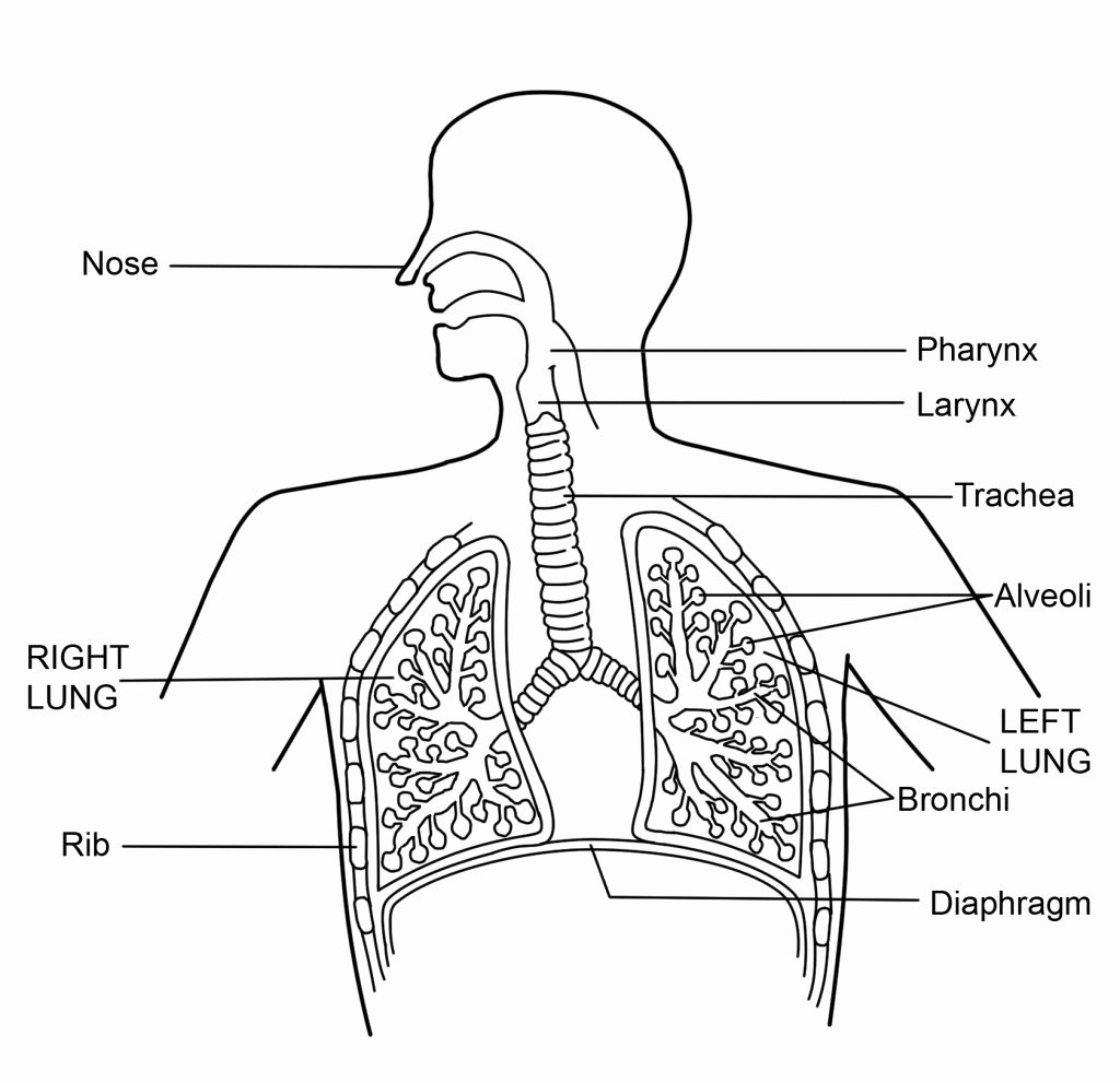 The Respiratory System Worksheet Best Of Respiratory System Worksheet Funresearcher