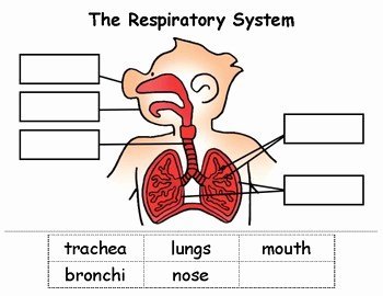 The Respiratory System Worksheet Elegant Respiratory System Cut & Paste by Nikki Squillante