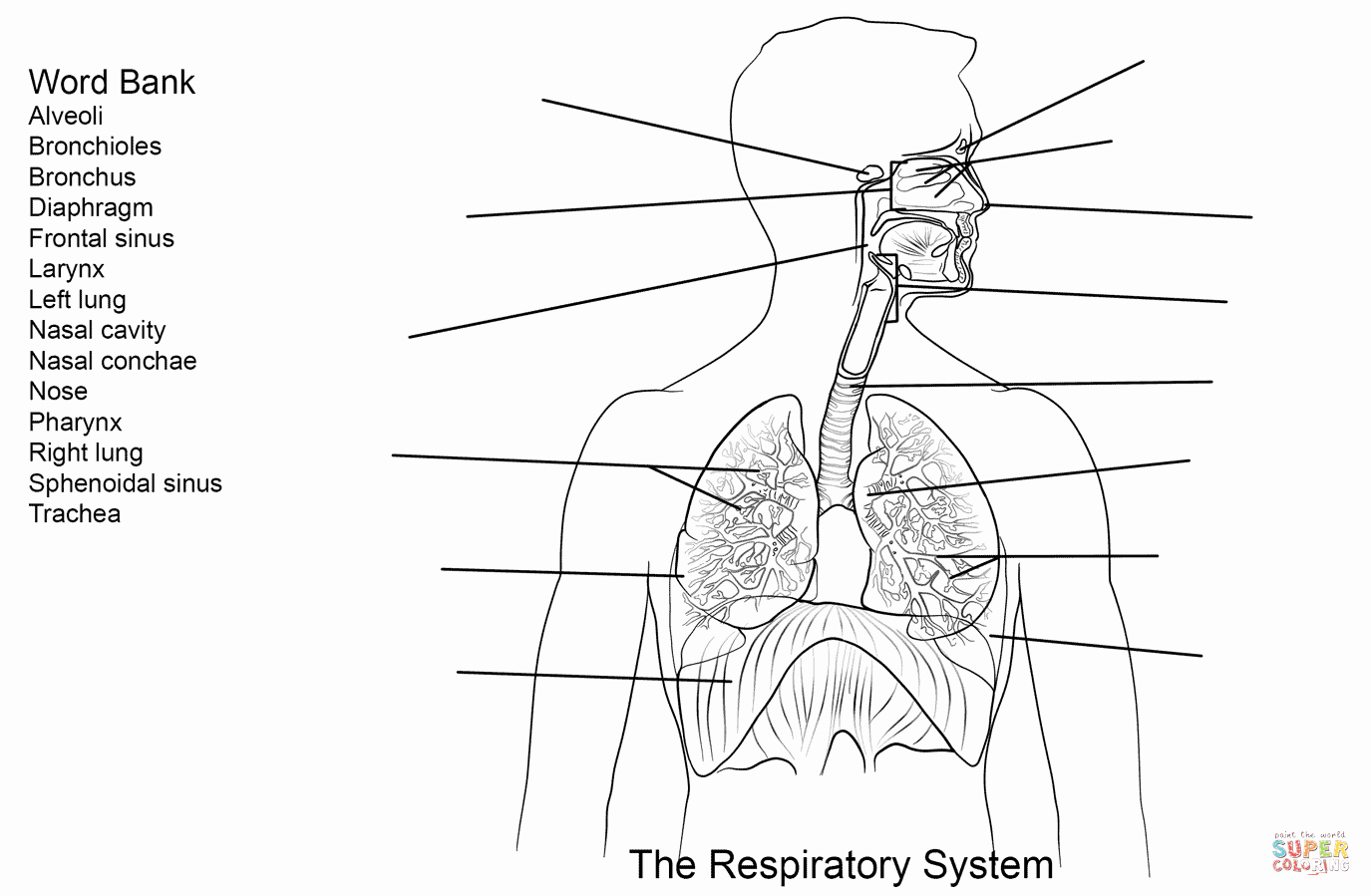 The Respiratory System Worksheet Inspirational Respiratory System Worksheet Coloring Page