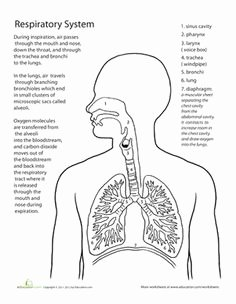 The Respiratory System Worksheet Lovely 10 Best Of Inside the Earth Worksheet Blank Rock