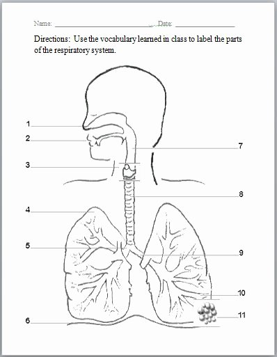 The Respiratory System Worksheet Lovely Respiratory System