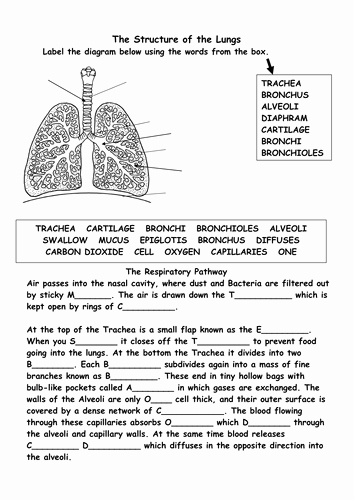 The Respiratory System Worksheet Luxury Structure Of the Respiratory System by Bs99amb Teaching