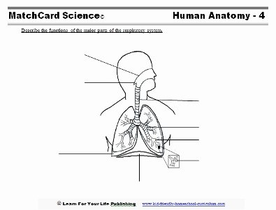 The Respiratory System Worksheet New Respiratory System for Kids
