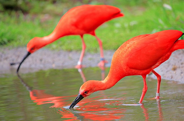 "The Scarlet Ibis Worksheet Best Of English I ""scarlet Ibis"" Webquest 1 10 13"