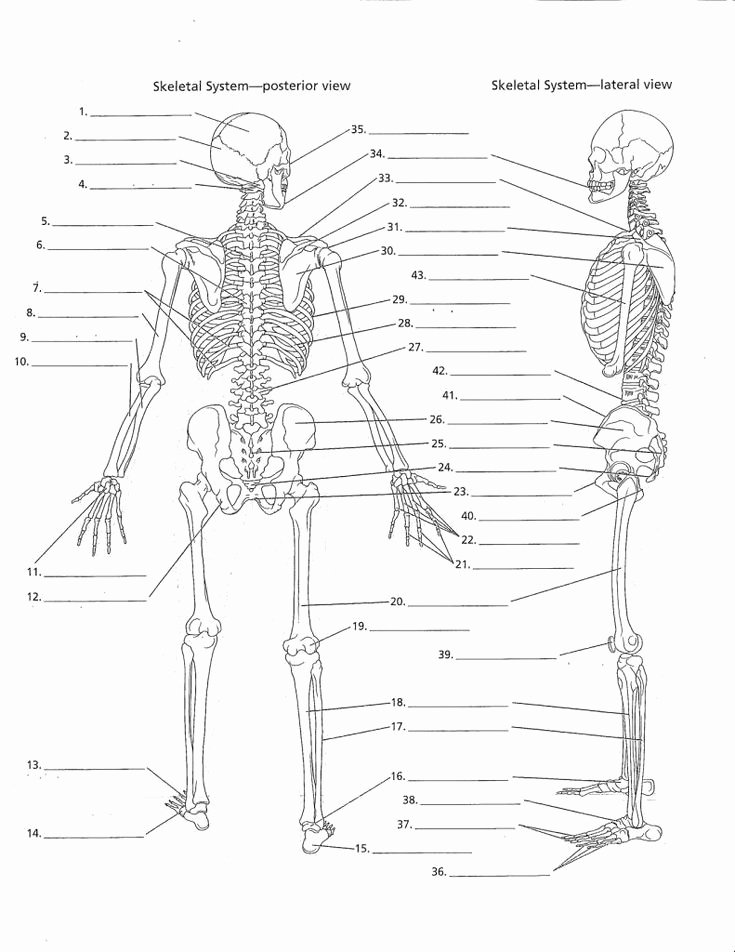The Skeletal System Worksheet Awesome Anatomy Labeling Worksheets Google Search