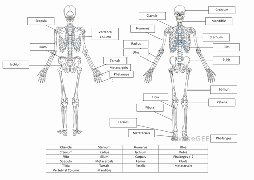 The Skeletal System Worksheet Awesome Skeletal System Worksheet and Answers by Hayleyanne20