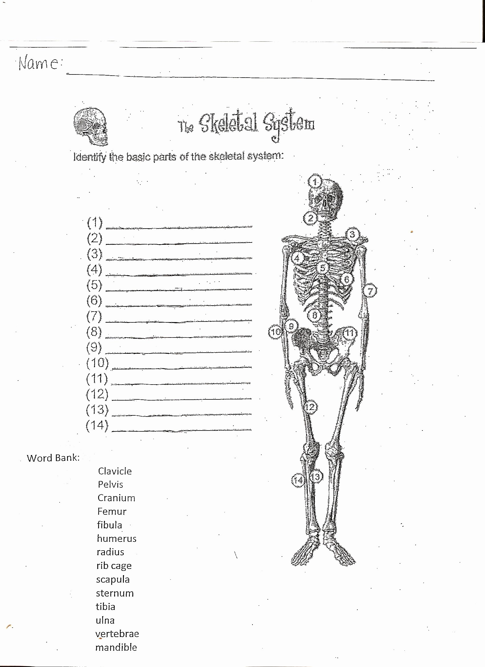 The Skeletal System Worksheet Beautiful Mckenna Mrs Home Page