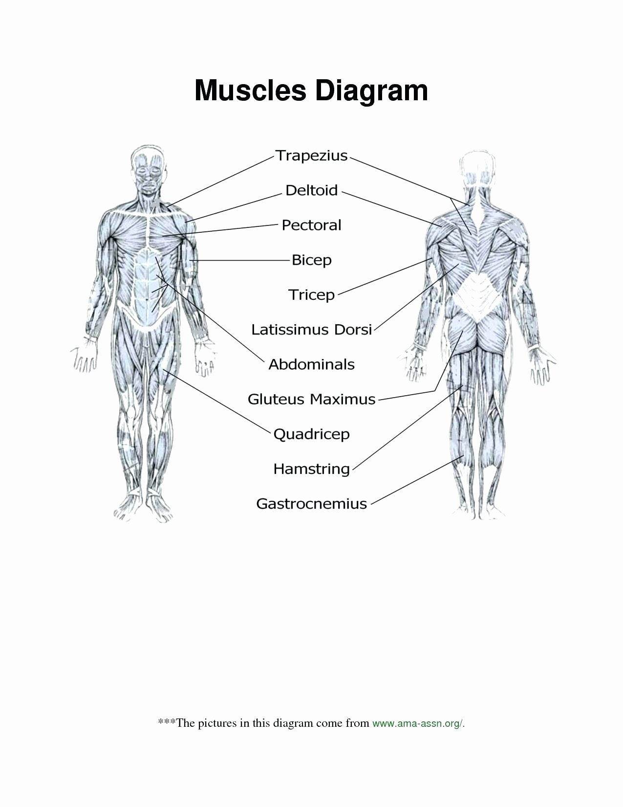 The Skeletal System Worksheet Beautiful Muscular System Diagram Worksheet Answers