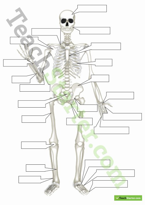 The Skeletal System Worksheet Beautiful the Human Skeletal System Worksheet