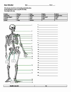 The Skeletal System Worksheet Best Of Bones Worksheet W Answers by Don Thomsens Magic Beautiful