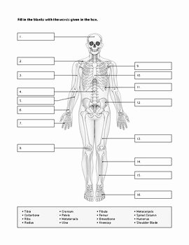 The Skeletal System Worksheet Best Of Skeletal System Worksheet by Human Body