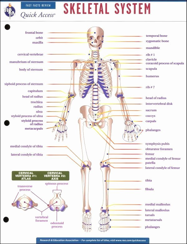 The Skeletal System Worksheet Elegant 29 Best Images About Radiology On Pinterest