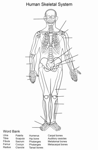 The Skeletal System Worksheet Elegant Human Skeletal System Worksheet Coloring Page