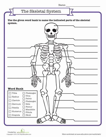 The Skeletal System Worksheet Elegant Skeletal System Quiz Science Math