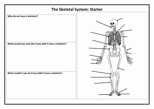 The Skeletal System Worksheet Fresh Skeletal System Worksheet