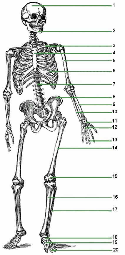 The Skeletal System Worksheet Fresh Skeletal System Worksheets for Kids at Stuff