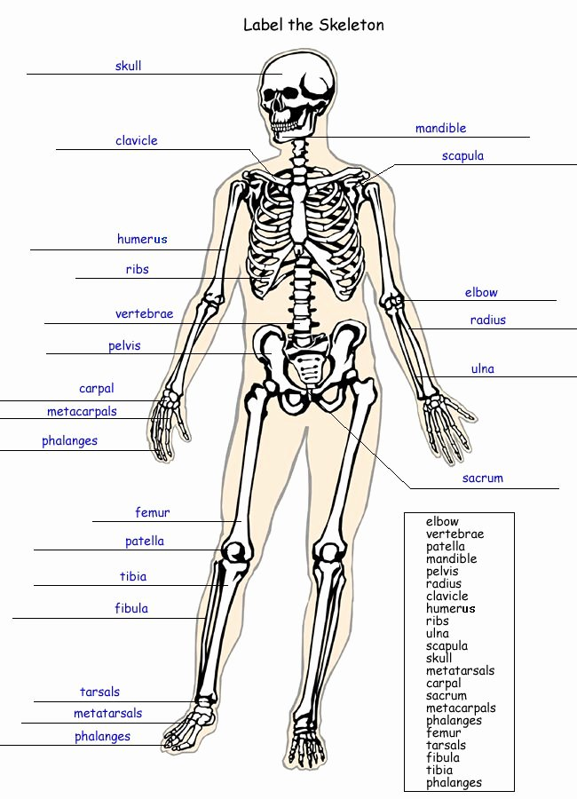 The Skeletal System Worksheet Luxury Label the Skeleton Worksheet Homeschool Helper