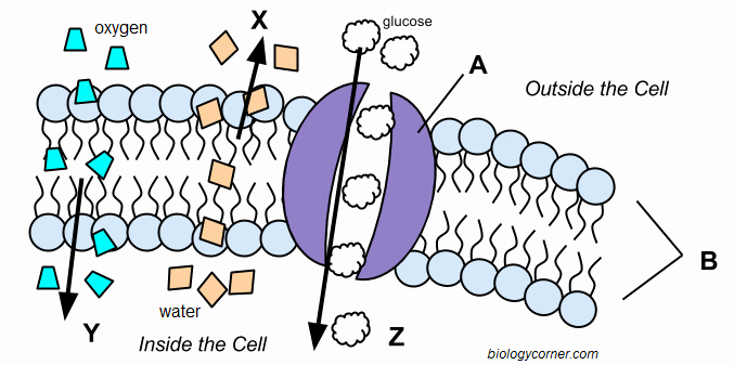 Transport In Cells Worksheet Awesome Cell Membrane and Transport