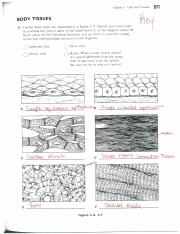 Types Of Tissues Worksheet Awesome Ch 3b Coloring Workbook Key Chapter 5 Cells and Tissues