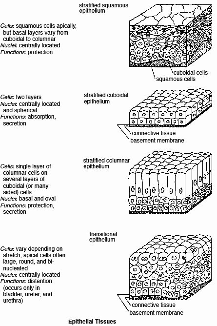 Types Of Tissues Worksheet Luxury Epithelial Tissue