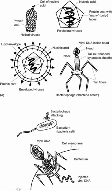 Virus and Bacteria Worksheet Key Best Of 14 Best Of Viruses and Bacteria Worksheets